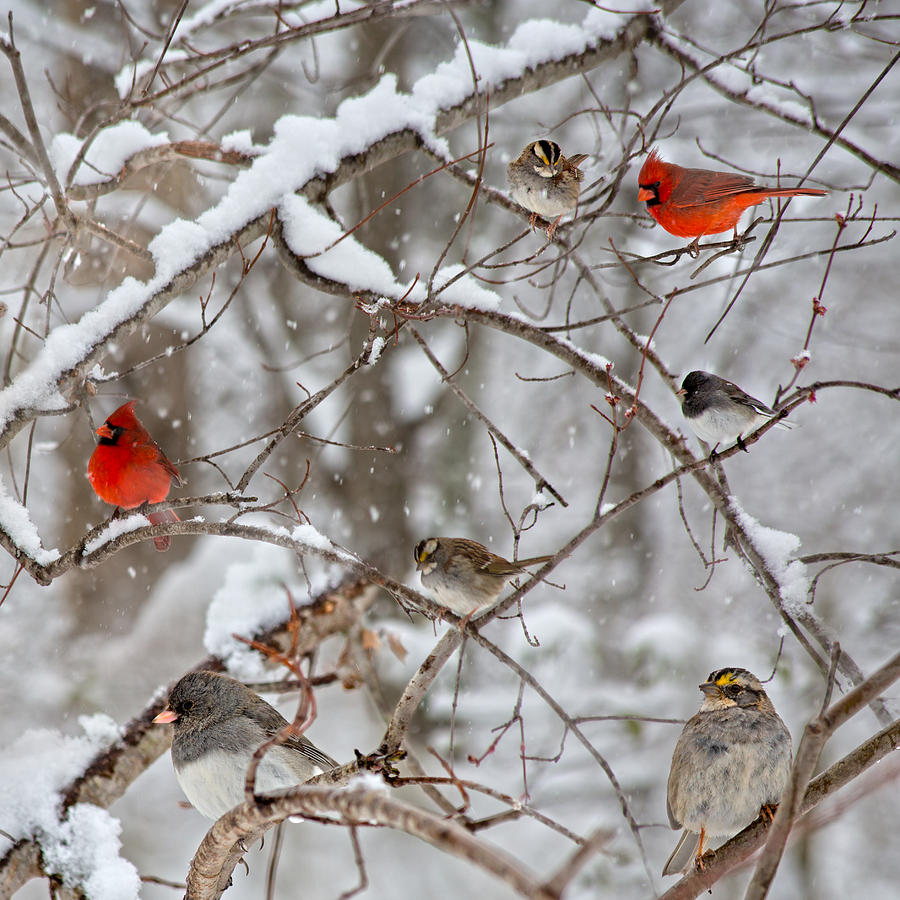 Cardinal Meeting In The Snow Photograph
