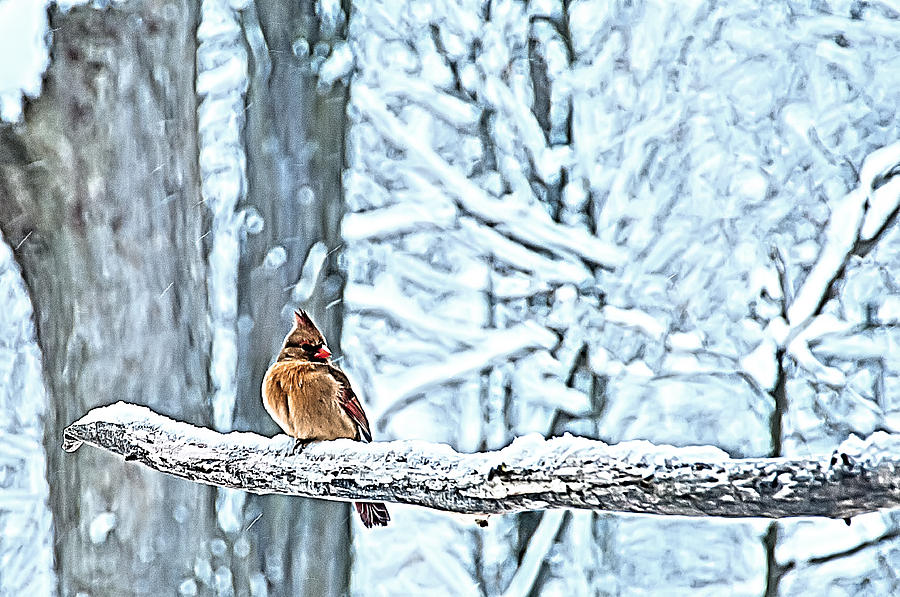 Female Cardinal Photograph - Cardinal No Mate To Keep Warm by Randall Branham
