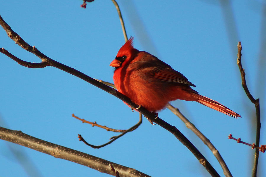 Cardinal On Bare Branch by Lorna R Mills DBA  Lorna Rogers Photography