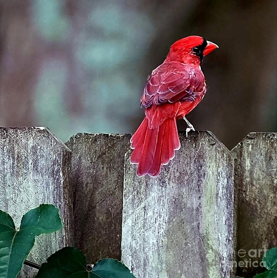 Bird Photograph - Cardinal by Randy Matthews