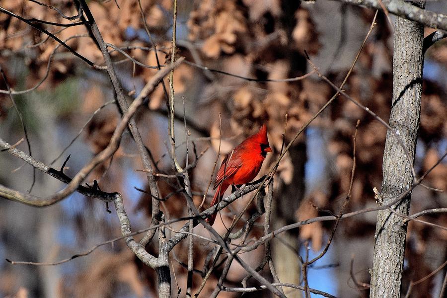 Cardinals 71 Photograph