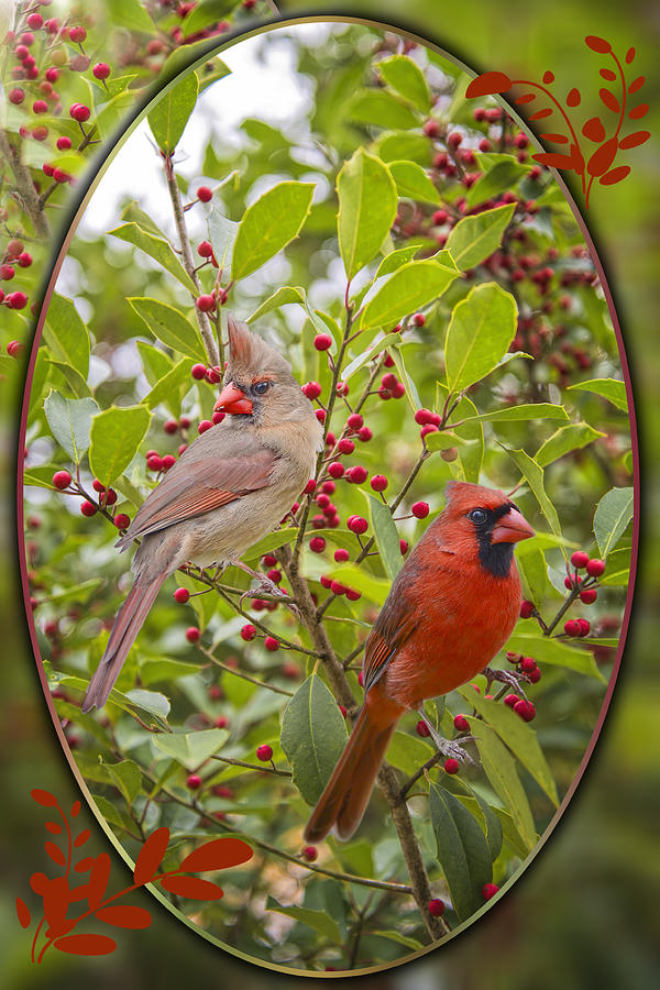 Cardinals Photograph - Cardinals In Holly by Bonnie Barry