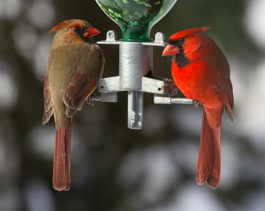 Cardinals Photograph - Cardinals by John Kunze