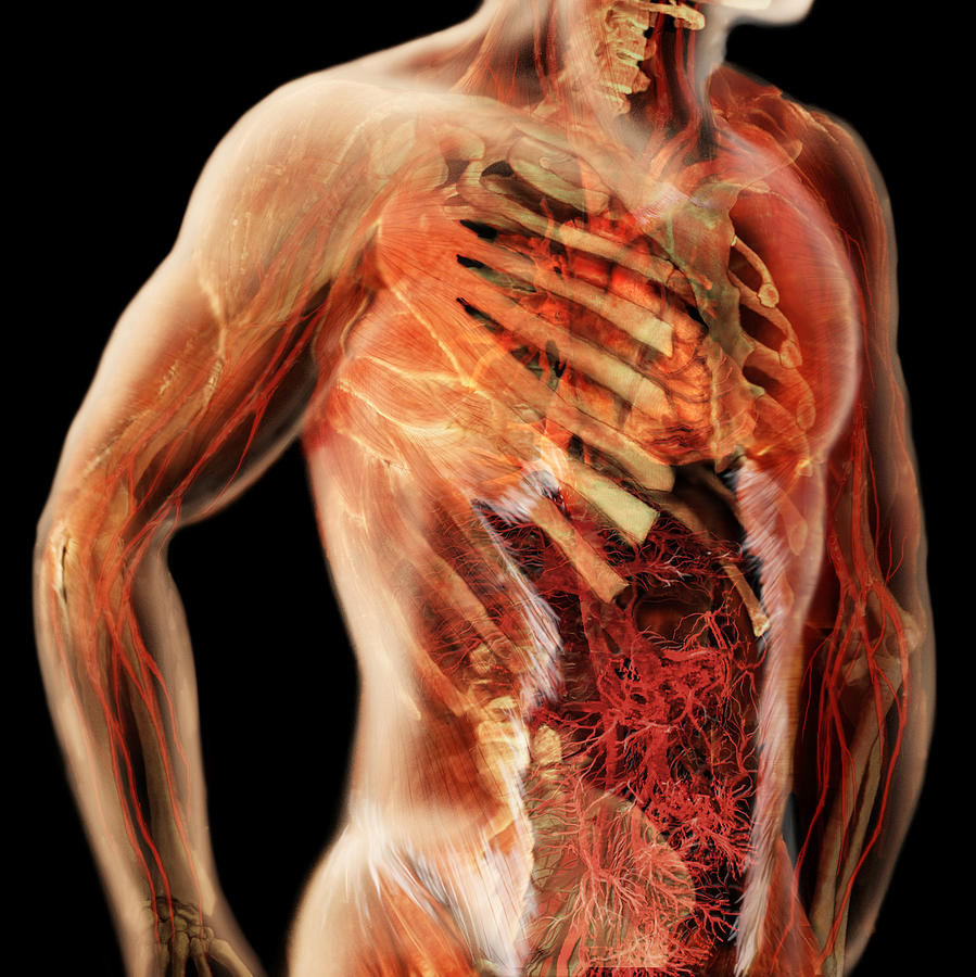 Cardiovascular System Male Torso Photograph By Anatomical Travelogue