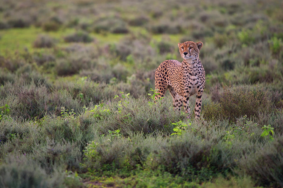 Cheetah Photograph - Careful Pose by Mohammed Alnaser