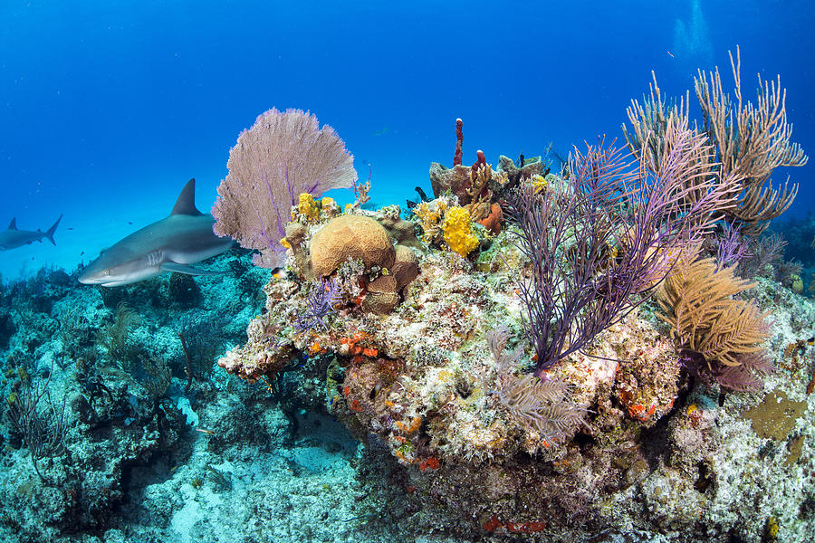 Caribbean sharks inside the corals Photograph by Colors and shapes of underwater world