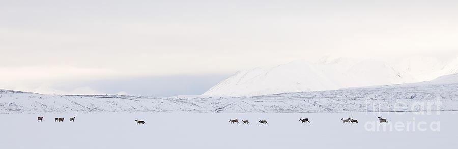 Caribou Photograph - Caribou On A Frozen Lake by Tim Grams