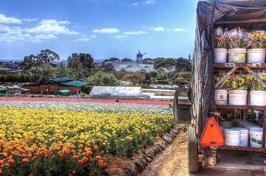 Carlsbad Photograph - Carlsbad Flower Fields by Ann Patterson