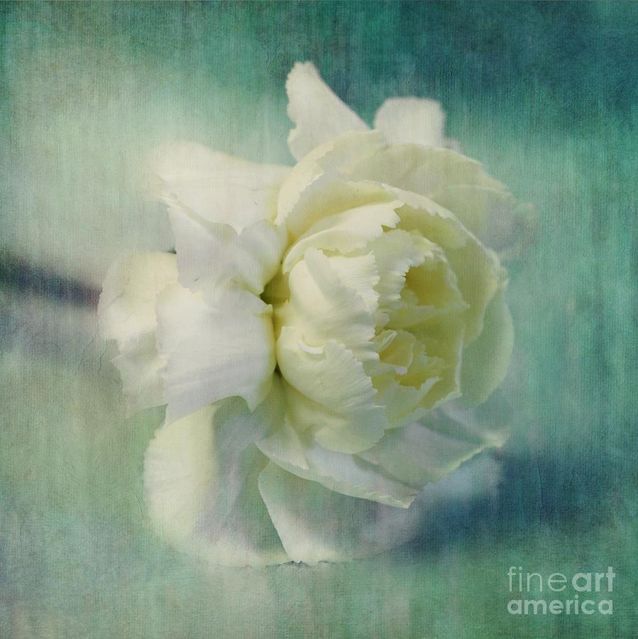 Carnation Photograph - Carnation by Priska Wettstein