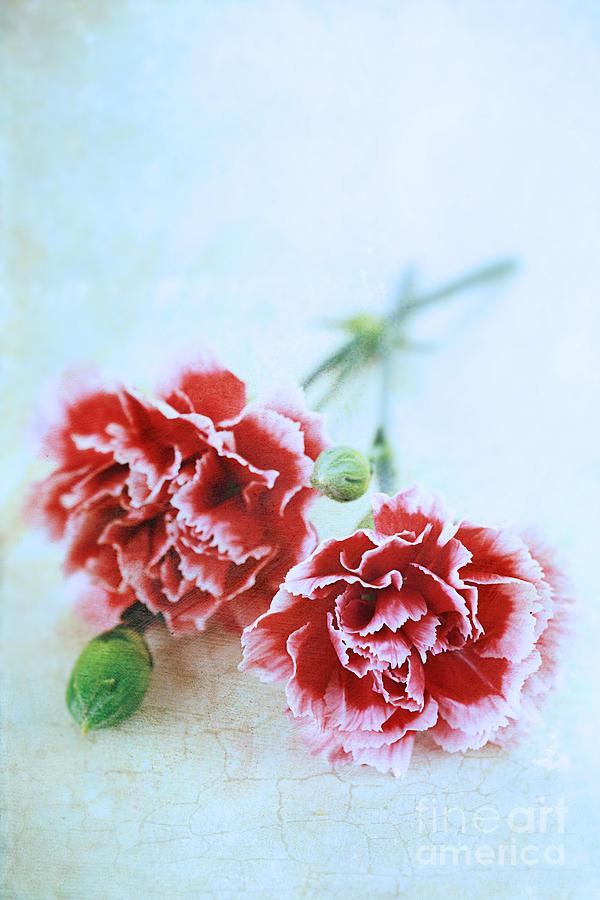 Colour Photograph - Carnations by Stephanie Frey