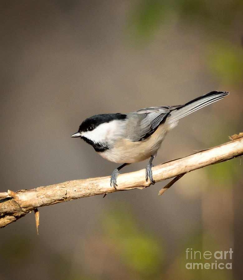 Carolina Chickadee Photograph - Carolina Chickadee  by Kerri Farley