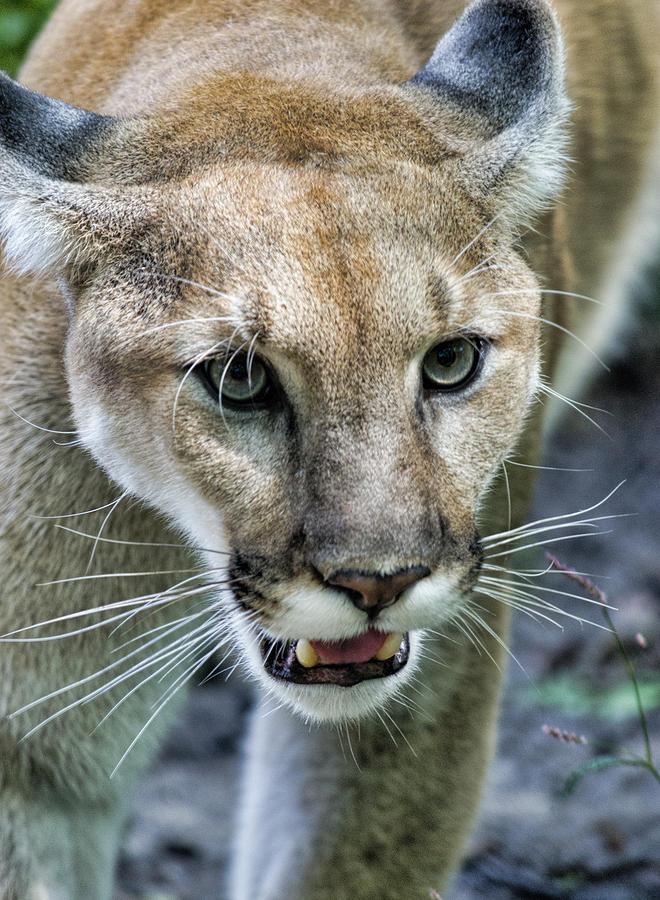 Carolina Mountain Lion by Jennifer Stockman