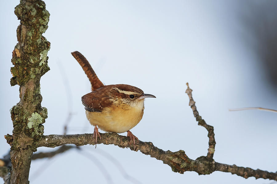Carolina Wren Thryothorus Ludovicianus Photograph by Tom Patrick / Design Pics