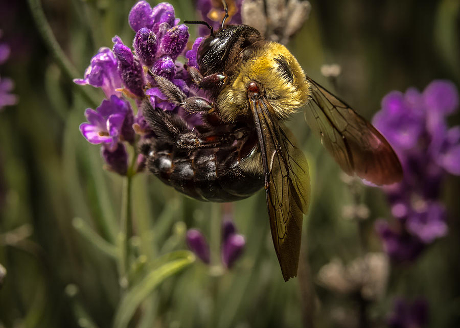 Bee Photograph - Carpenter Bee On A Lavender Spike by Ron Pate