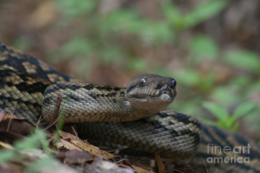 Snake Photograph - Carpet Snake by J Cooper
