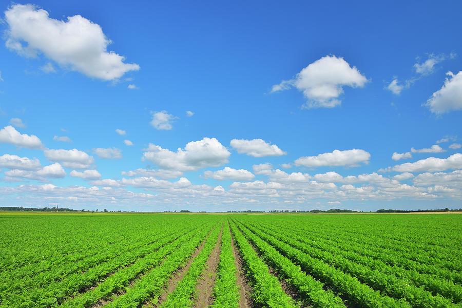 Carrot Field Photograph by Raimund Linke
