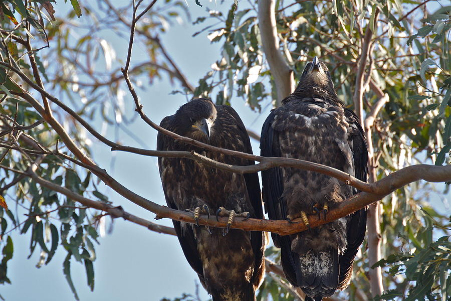 Casitas Eagles Eighteen by Diana Hatcher