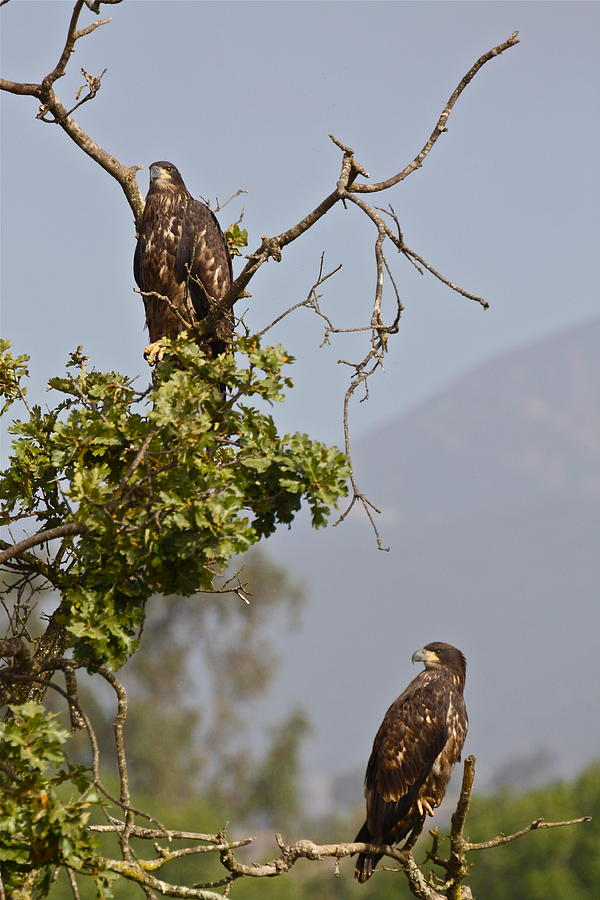 Casitas Eagles Eleven by Diana Hatcher