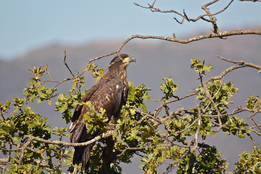 Casitas Eagles Seventeen by Diana Hatcher