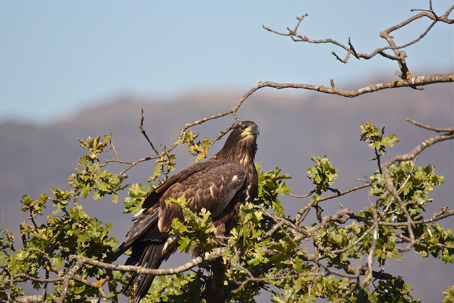Casitas Eagles Sixteen by Diana Hatcher