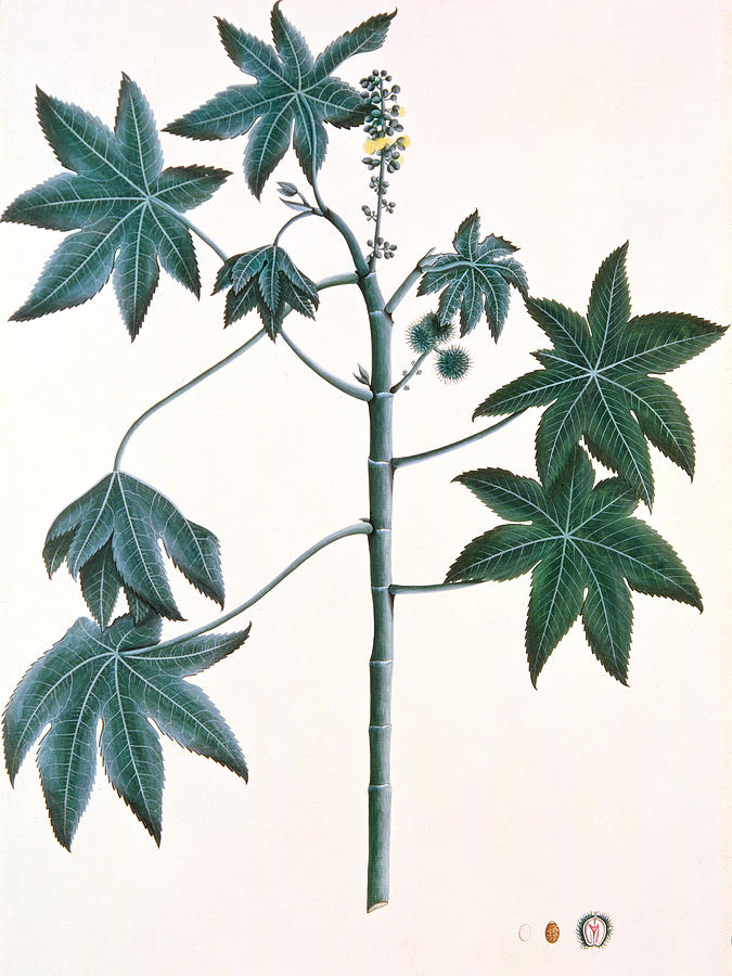 Leaf Painting - Castor Oil Plant by Indian School