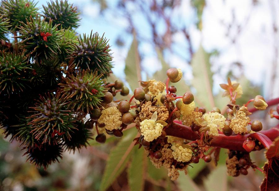 Castor Oil Plant Ricinus Communis Photograph By Philippe Psaila Science Photo Library
