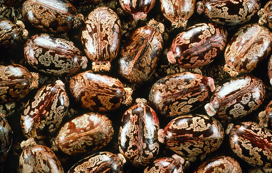 Castor-oil Seeds Photograph by Perennou Nuridsany