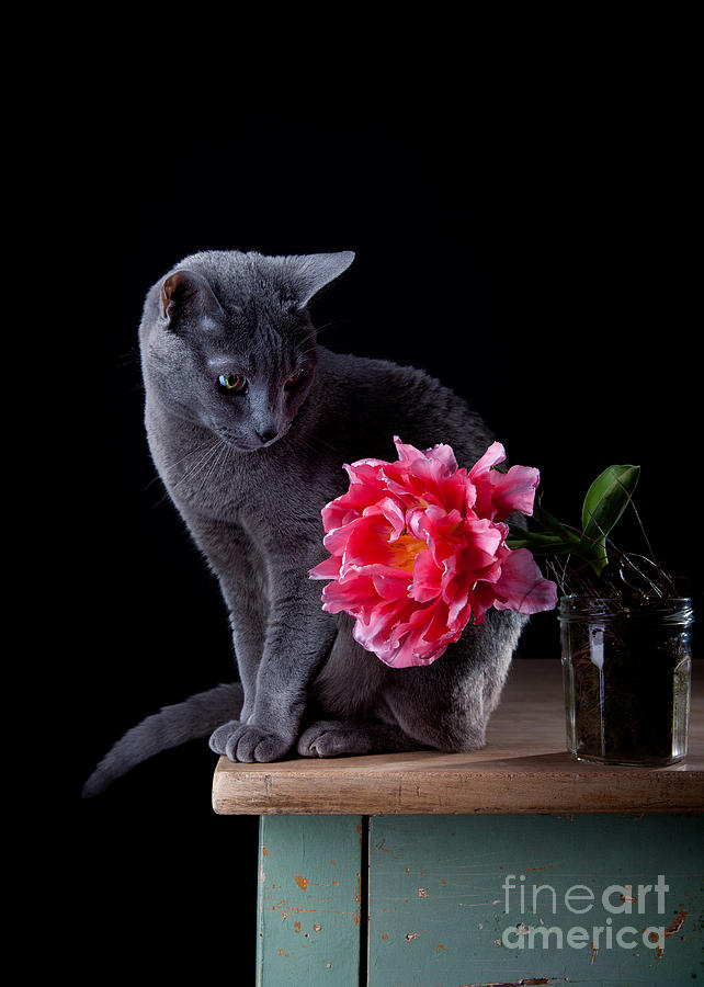 Cat Photograph - Cat And Tulip by Nailia Schwarz