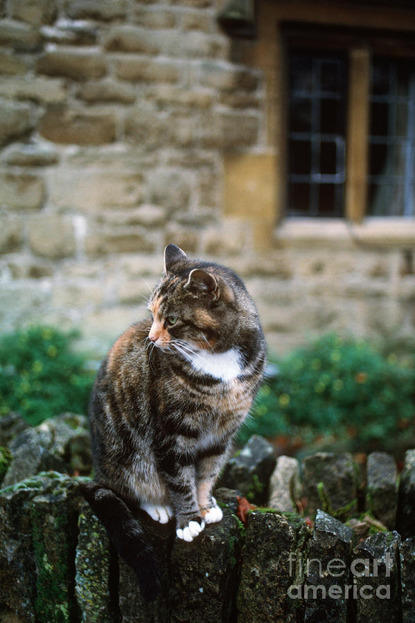 Cat Photograph - Cat In England by James L. Amos