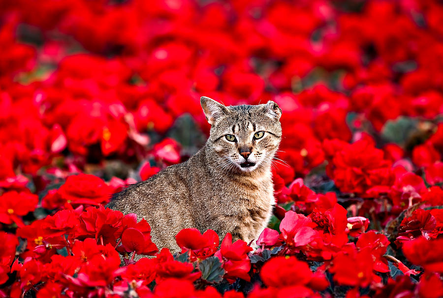 Cat Photograph - Cat In Red by Tomasz Dziubinski