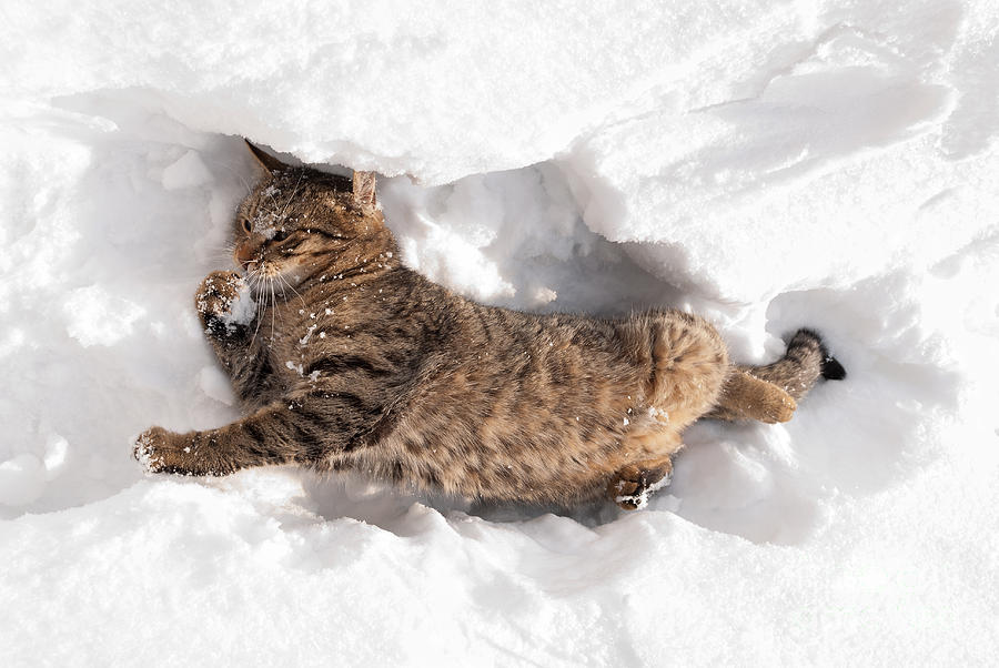 Cat Photograph - Cat Playing In The Snow by Milica Ljevaja Stojanovic