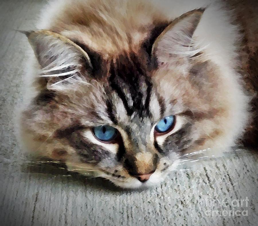 Kitty Mixed Media - Cat - Ragdoll - Linx Kitty by PurrVeyor Com