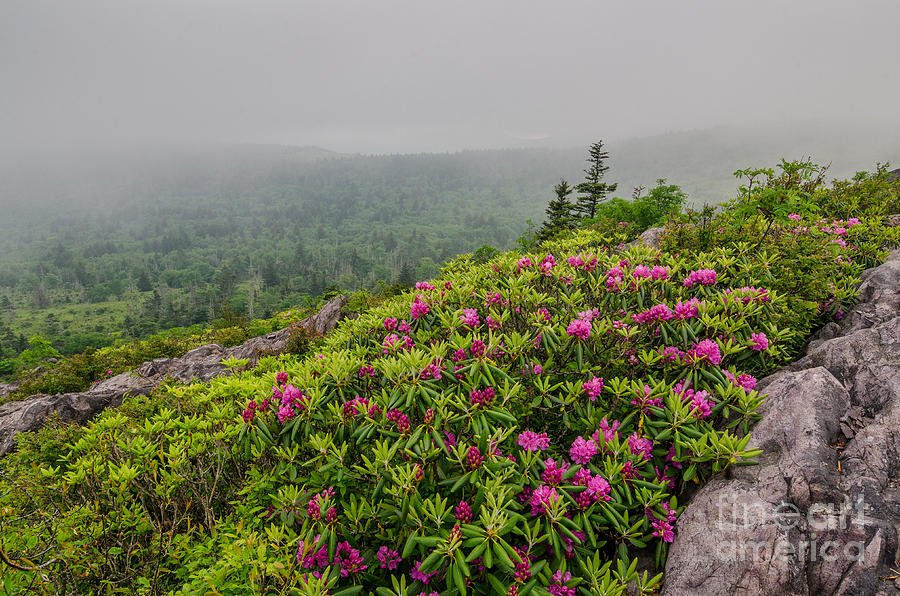 Rhododendron Photograph - Catawbas And Fog by Anthony Heflin