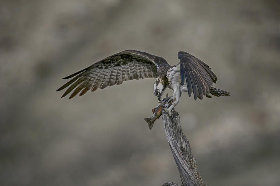 Yellowstone Photograph - Catch Of The Day by Gary Hall