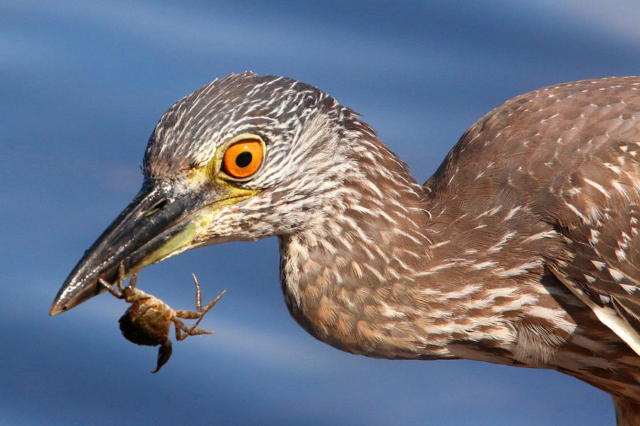 Yellow-crowned Night Heron Photograph - Catch Of The Day by Karen Lindquist