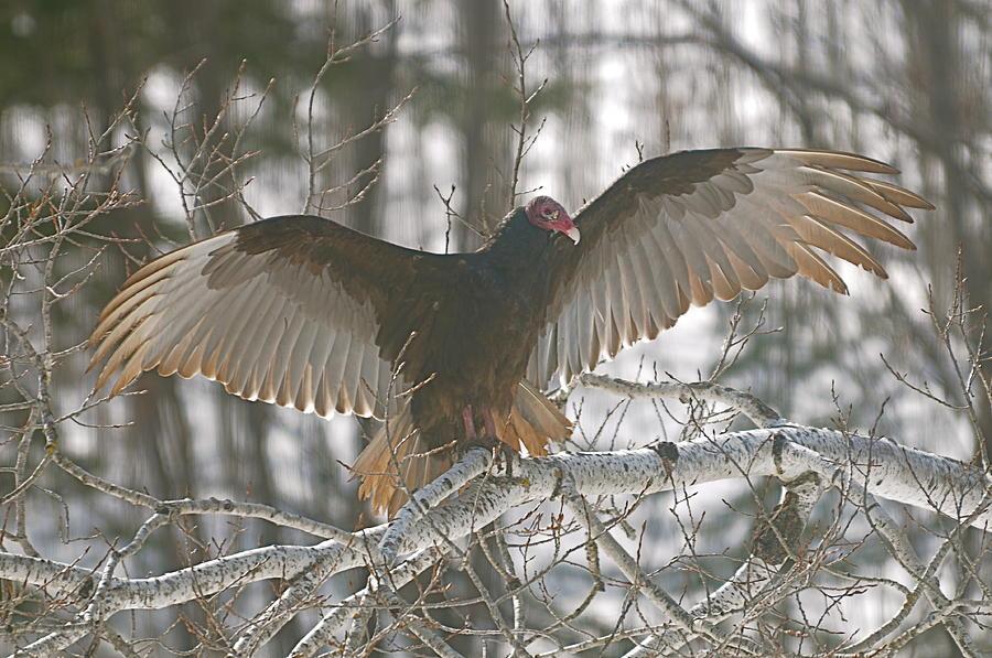 Turkey Vulture Photograph - Catching Some Rays by Sandra Updyke