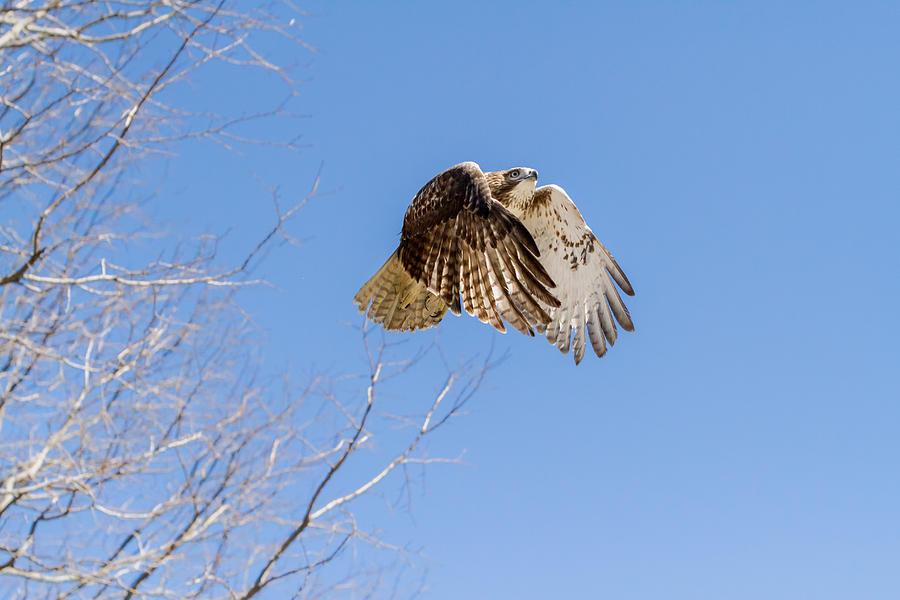 Redtail Hawk Photograph - Catching The Sun by Bill Wakeley