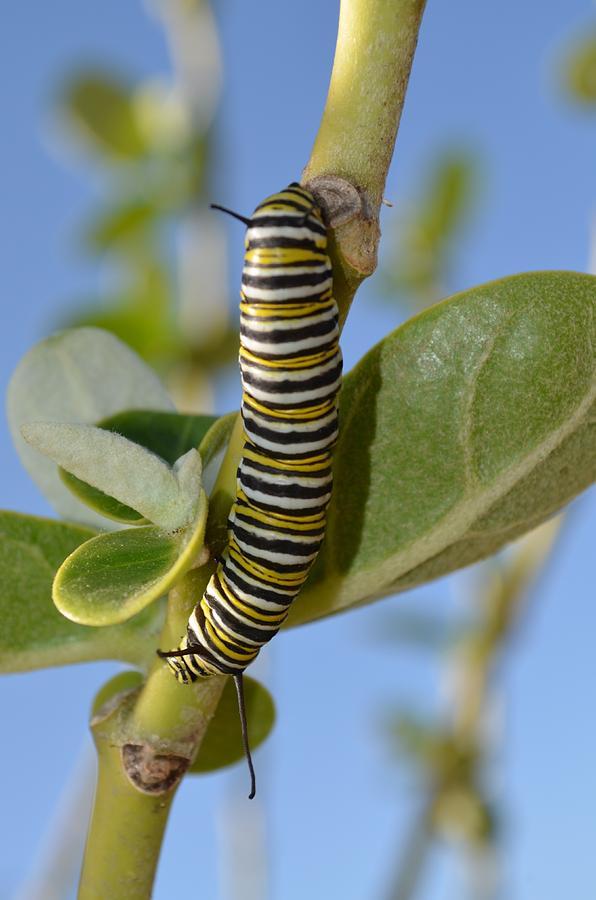 Caterpillar Digital Art - Caterpillar by Bonita Hensley