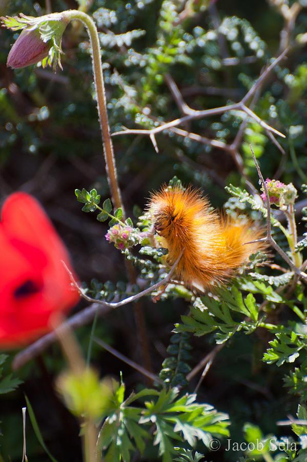 Fauna Pyrography - Caterpillar by Jacob Sela