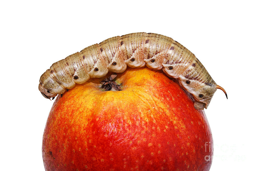 Insects Photograph - Caterpillar On The Apple. by Alexandr  Malyshev