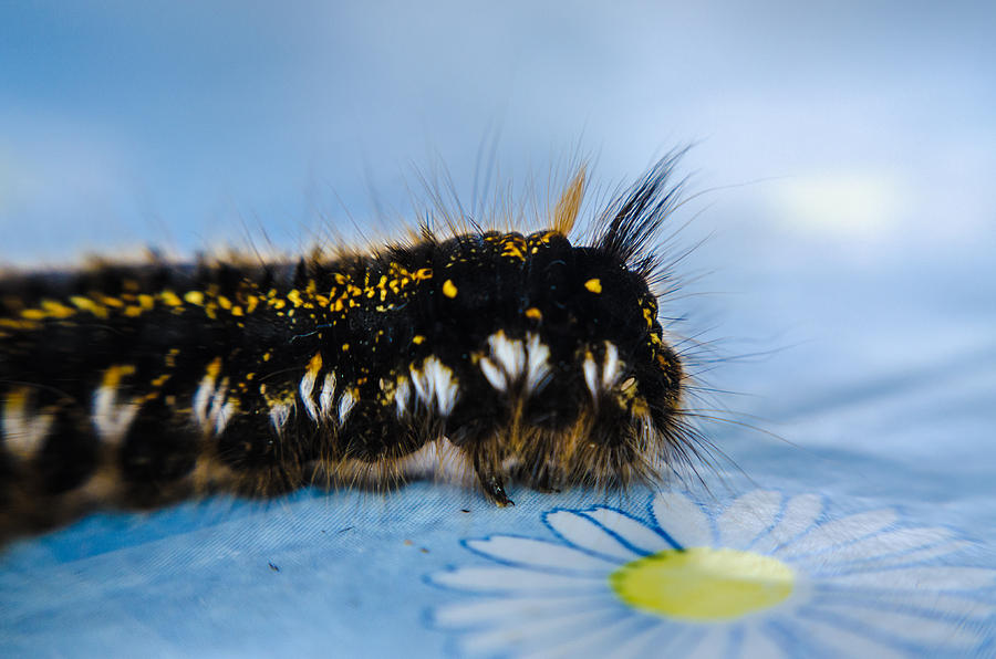 Insect Photograph - Caterpillar on the table by Michael Goyberg