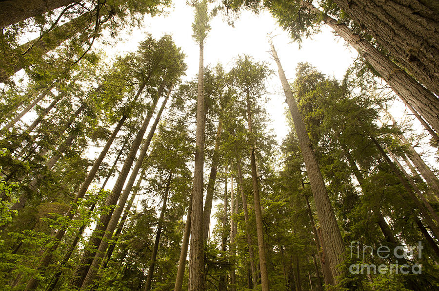 Douglas Fir Trees Photograph - Cathedral Forest by Artist and Photographer Laura Wrede