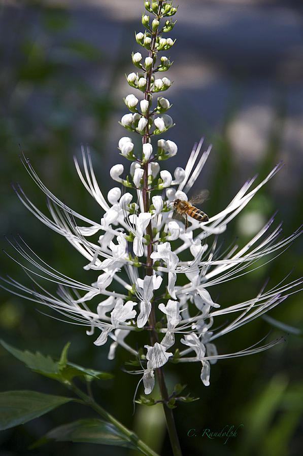 Cat's Whiskers Bloom Photograph - Cats Whiskers by Cheri Randolph