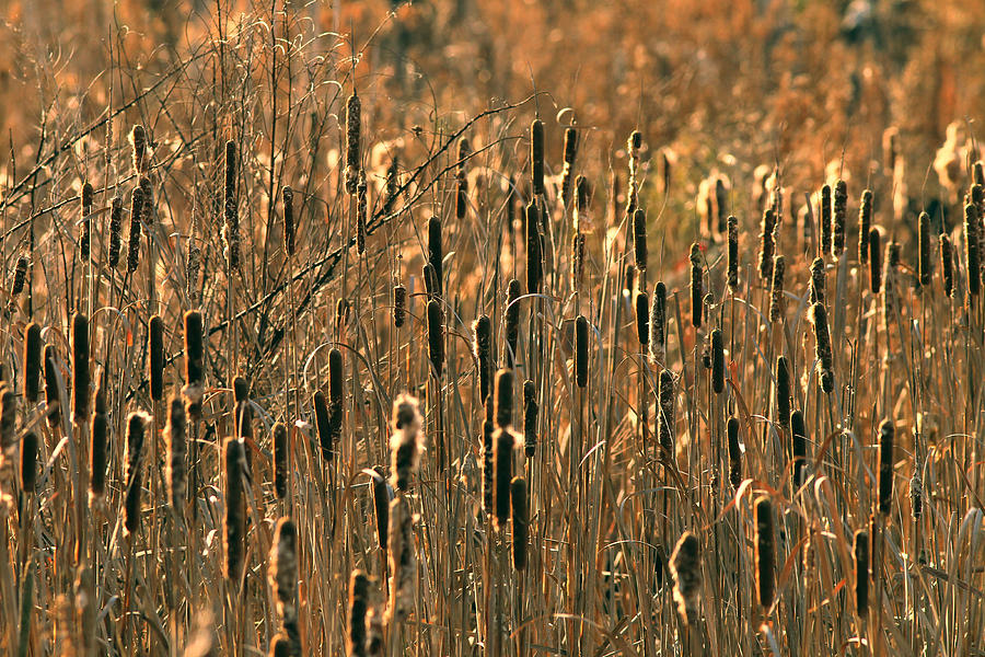 Abstract Photograph - Cattail Marsh by Pete Federico