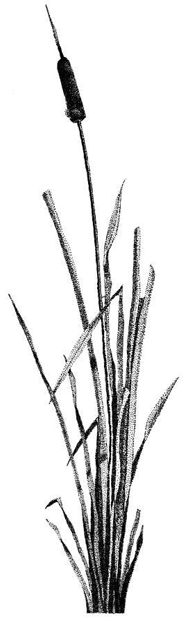 Still Life Drawing - Cattail by Rob Christensen