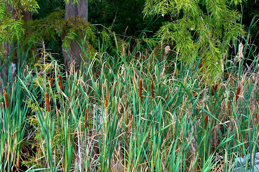 Cattails Photograph - Cattails by Carolyn Ricks
