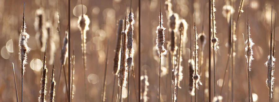 Cattails Photograph - Cattails In The Light by Leda Robertson