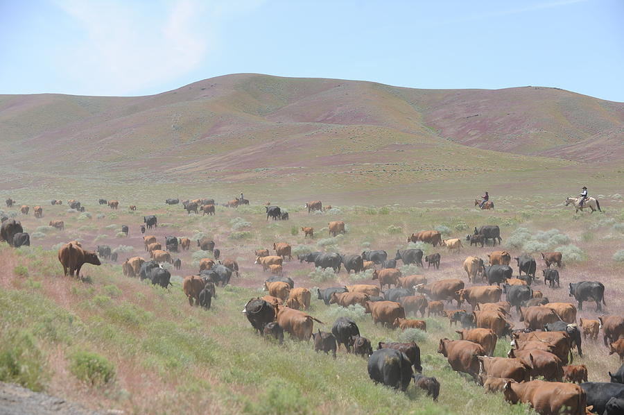 Cattle Drive Photograph - Cattle Drive In The Spring by Lee Raine