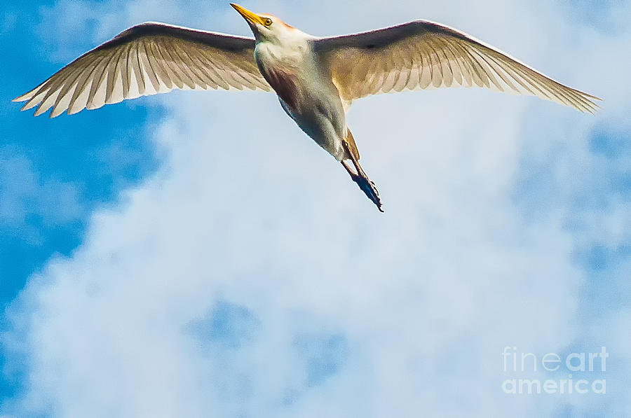 Wakodahatchee Photograph - Cattle Egret In Breeding Plumage by Shawn Lyte