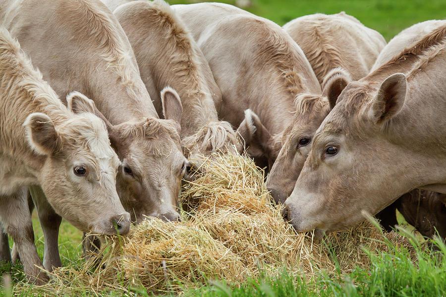Cattle Feeding, Farming Australia Photograph by Robert Lang Photography